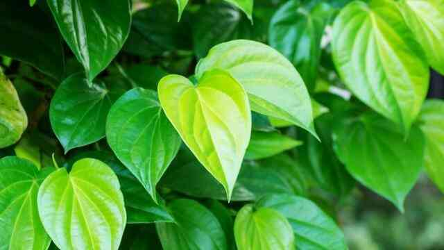 khasiat dan manfaat daun sirih sebagai anti biotik alami